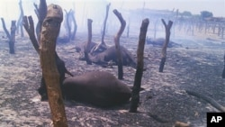 Dead cows lie amid burned posts Thursday, May 3, 2012 following a raid by gunmen in a cattle market in Potiskum, Nigeria. At least 34 people were killed after a failed cattle raid on Wednesday in a northeast Nigeria market sparked a retaliatory attack by