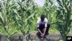 A farmer in Vaudreuil, Haiti, works in a cornfield (File)