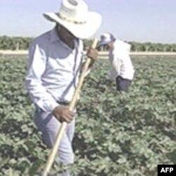Imigranti na američkim farmama