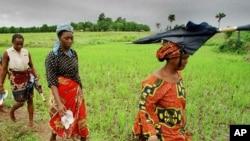 Des champs de riz (AP)
