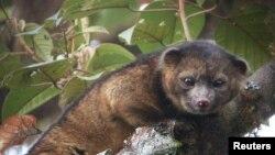 olinguito es el primer carnívoro descubierto en los últimos 35 años que habita en el continente americano.