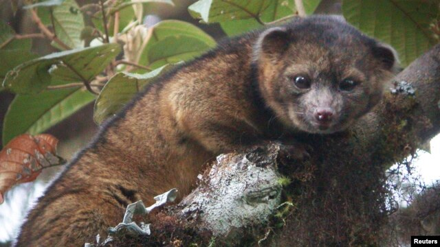 "An ""olinguito (Bassaricyon neblina),"" described as the first carnivore species to be discovered in the American continents in 35 years, is pictured in a cloud forest in South America."