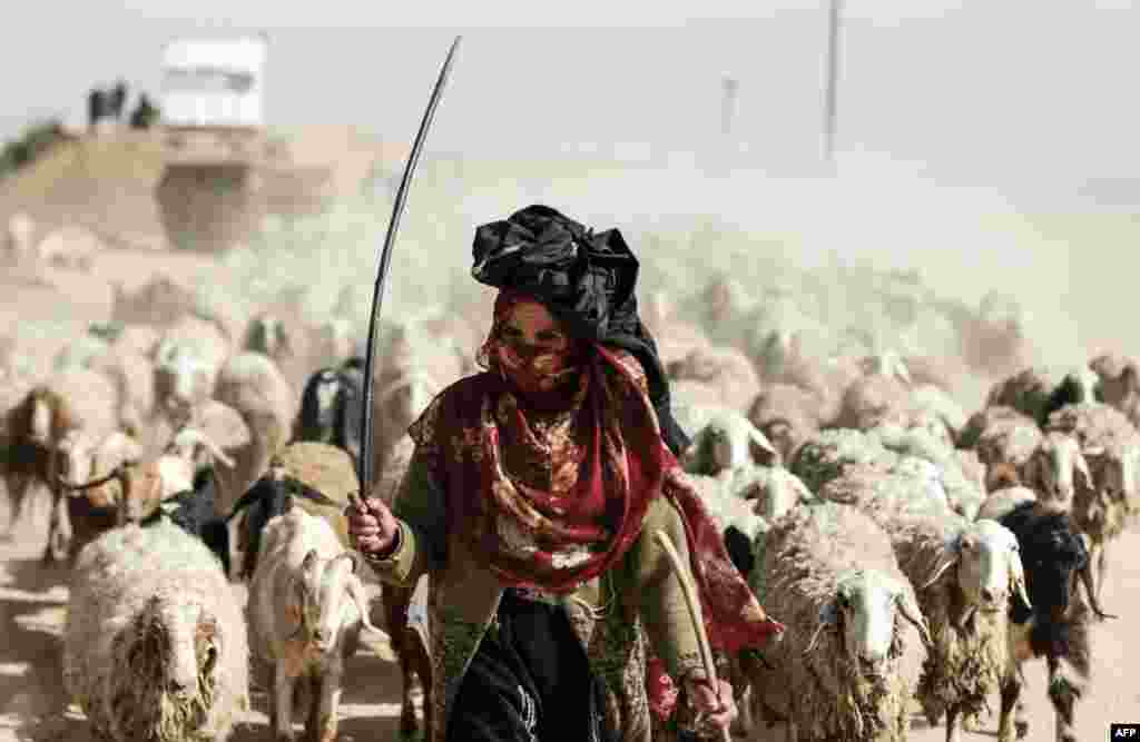 A Palestinian woman herds sheep near the Gaza-Israel border on the outskirts of Gaza City.
