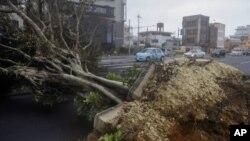 지난 29일 일본 오키나와에 불어닥친 태풍 즐라왓의 영향으로 뿌리째 뽑힌 가로수