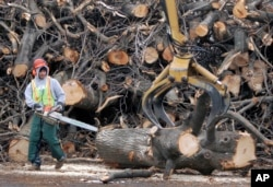 FILE - A tree removal worker with a chainsaw watches as a log is removed by an oversized claw in a parking lot on the campus of Quinsigamond Community College in Worcester, Massachusetts, Jan. 5, 2009. A 2008 infestation of the Asian longhorned beetle in the city resulted in removal of tens of thousands of trees.