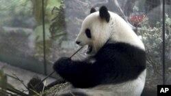 Panda betina Meng Meng sedang melahap bambu di kandangnya, di kebun binatang di Berlin, Jerman, Jumat, 5 April, 2019. (Foto: dok).