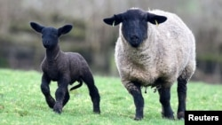 A Suffolk sheep and her three-week-old lamb on a farm in Brecon, Wales, Britain, February 17, 2020. (REUTERS Photo/Rebecca Naden)
