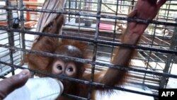 Alifah, anak orangutan di Kebun Binatang Surabaya, yang diberikan susu botol karena air susu induknya tak lagi berproduksi. (Foto: Dok)
