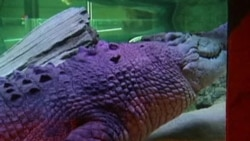 Gigantic Crocodile Finds New Home in Australian Aquarium
