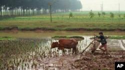 Untuk jangka panjang Vietnam akan meningkatkan kualitas berasnya dan berencana menembus pasar Tiongkok (foto: Dok).