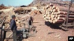 러시아 극동 아무르주 자린그라의 제재소에서 북한이 파견한 벌목공들이 일하고 있다. (자료사진)
