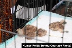 Barang bukti yaitu 3 ekor elang brontok, sebagai jenis satwa dilindungi, saat dirilis di Mapolda Sumut, Jumat (11/1) (Courtesy: Human Polda Sumut)