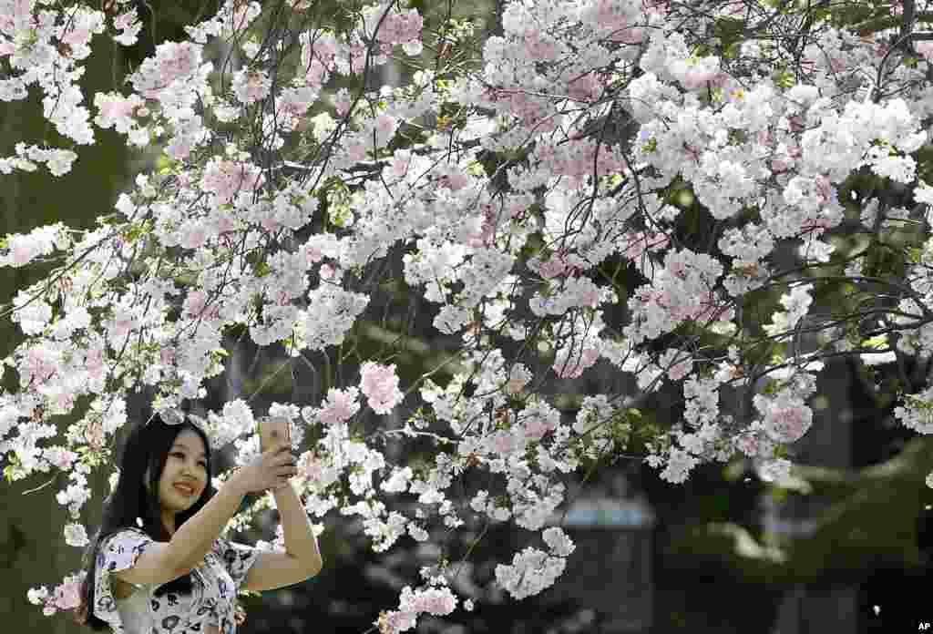Lucy Lu, a student from China, takes a photograph under a blossom-covered tree in St James' Park in London.