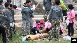 """In this May 30, 2016, photo, wildlife officials sedate a tiger at the """"Tiger Temple"""" in Saiyok district in Kanchanaburi province, west of Bangkok, Thailand. Wildlife officials in Thailand on Monday began removing some of the 137 tigers held at a Buddhist temple following accusations that the monks were involved in illegal breeding and trafficking of the animals."""