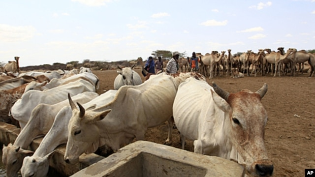 Livestock drink from a water point in the Kenya-Somalia border town of Liboi July 29, 2011