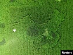 上海有人种稻田种出了中国地图的形状(2016年9月25日)