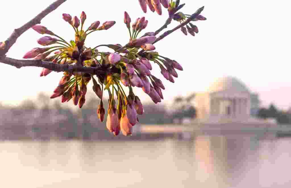 Las flores de los cerezos acompañan la imagen a la distancia del monumento que honra a Jefferson en Washington.