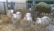 The offspring of the first cloned sheep appear to be healthy, according to a new study