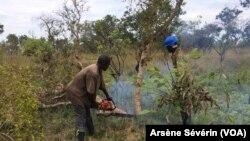 Un abatteur d'arbres sur le chantier de Missié-Missié dans le Pool, Congo-Brazzaville, 23 octobre 2018. (VOA/Arsène Sévérin)