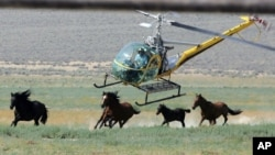 FILE - A livestock helicopter pilot rounds up wild horses from the Fox & Lake Herd Management Area from the range in Washoe County, near the town on Empire, Nevada, July 13, 2008.