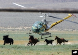 FILE - In this July 13, 2008 file photo a livestock helicopter pilot rounds up wild horses from the Fox & Lake Herd Management Area from the range in Washoe County, Nev.,