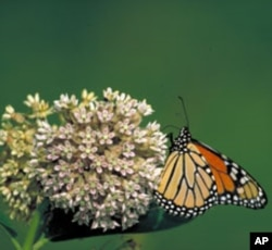 Removing the Monarchs' antenna not only eliminated their sense of smell and vibration, it also befuddled their navigation.