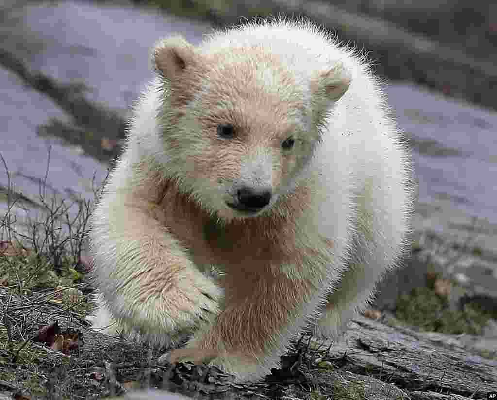 یک خرس ماده قطبی در یک باغ وحش در شهر برلین آلمان.