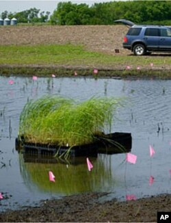 Plugs of native cordgrass, waiting to be planted