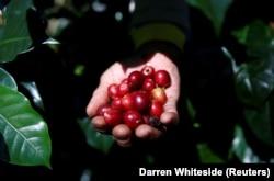 Seorang pekerja memanen buah kopi arabika di sebuah perkebunan dekat Pangalengan, Jawa Barat. (Foto: Reuters/Darren Whiteside)