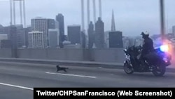A California police office chasing a chihuahua dog on the Bay Bridge near San Francisco.