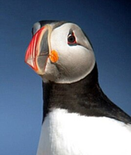 Kress says Eastern Egg Rock is the puffins' ancestral home.