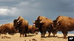 In an April 24, 2012 file photo, a herd of bison are on the Fort Peck Reservation near Poplar, Montana. (AP Photo/Matthew Brown,File)