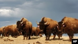 The arrival of white settlers on the Great Plains marked the beginning of the end for the horse and buffalo culture of the Indians.