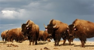 File-In an April 24, 2012 file photo a herd of bison are on the Fort Peck Reservation near Poplar, Mont.   The Montana Supreme Court has reversed a lower court ruling that blocked transfers of Yellowstone National Park bison as part of a government-sponso