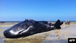 Xác của một trong 6 con cá nhà táng chết dạt vào bờ biển miền nam Australia. Trọng lượng các con cá này lên đến 50 tấn, 8/12/14