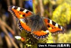 Nymphalis urticae (butterfly)