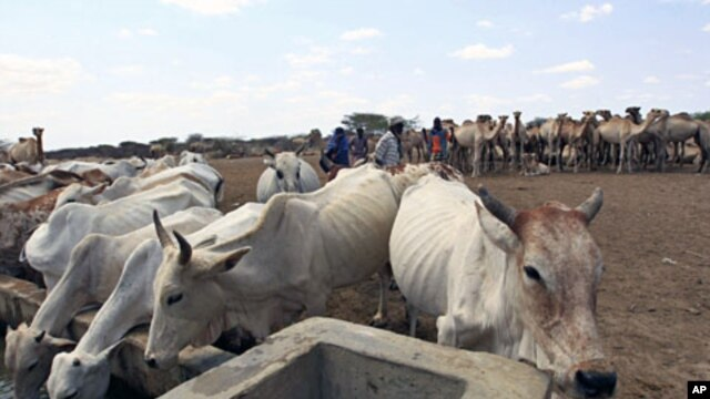 Livestock drink from a water point in the Kenya-Somalia border town of Liboi, July 29, 2011