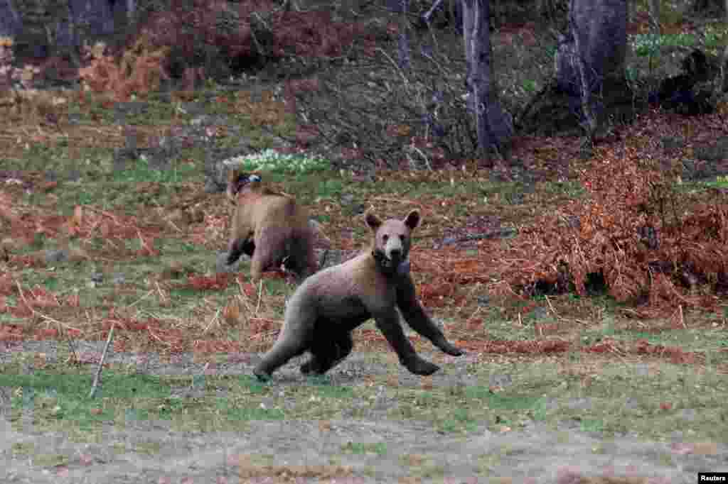 Brown bear cubs Bradley and Cooper are released into the forest from the NGO Arcturos' bear sanctuary in the village of Nymfaio, near Florina, Greece.
