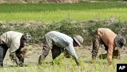 Cambodian farmers work on the rice field in Kampong Speu province, west of Phnom Penh, (File)