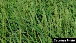 O. glaberrima rice. (International Rice Research Institute)