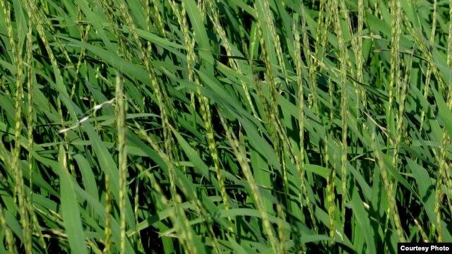 Lúa châu Phi. (International Rice Research Institute)
