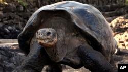 En la imagen, una de las tortugas gigantes de Ecuador.