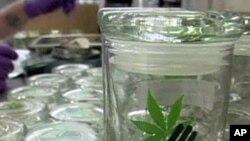 Uzgajivači marihuane u Kaliforniji plaše se proizvodnje 'na veliko'