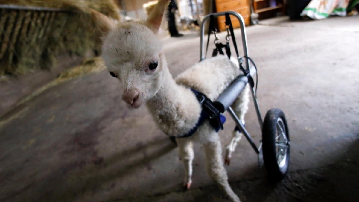 Anak Alpaka yang Cacat Kaki Belakang, Berjalan Lagi dengan Roda Khusus
