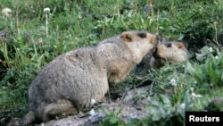 "FILE - Two marmots, prairie animals also known as the ""tarbagans"", meet at the entrance of their lair in Yushu, west China's Qinghai province."