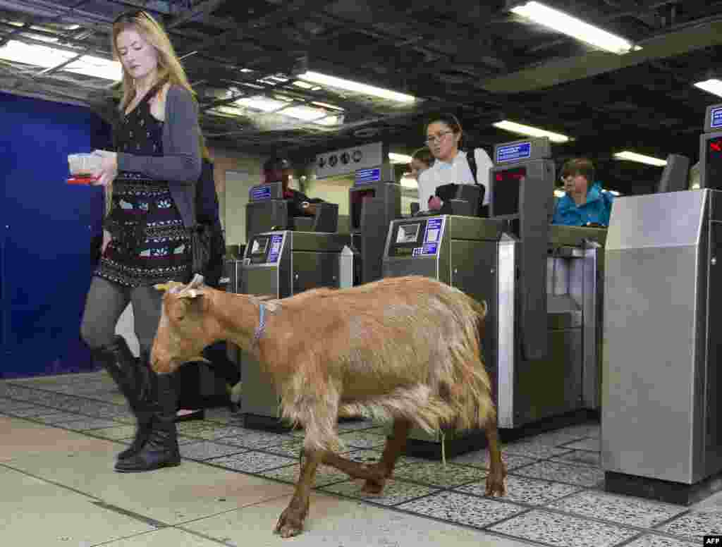 A goat named 'Barney' from Vauxhall City Farm, walks through a ticket barrier with morning commuters at Vauxhall Underground Station in London, during a photocall to launch Transport for London's first 'above ground map' of the Victoria line, in a bid to encourage people to explore more of the city.