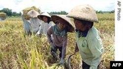 FAO: Giá lương thực tăng trở lại
