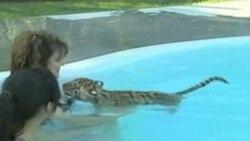 У парку Флориди можна провести час у товаристві тигра