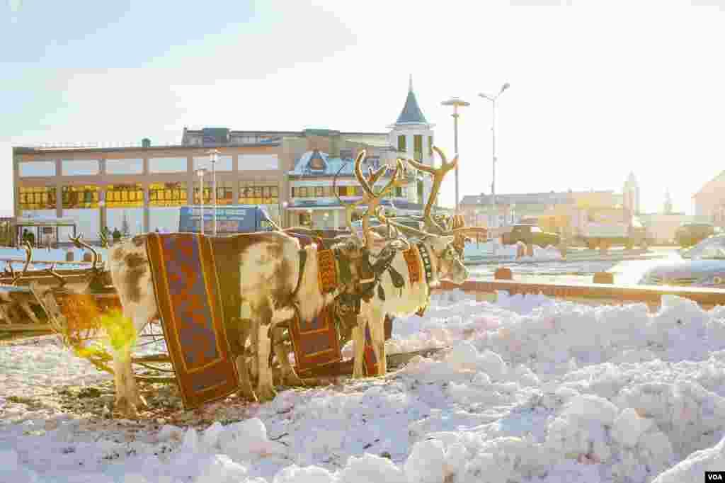 Ada sekitar setengah juta rusa kutub di wilayah otonom Yamalo-Nenets, pusat pengembangbiakkan rusa kutub di dunia. (VOA/V. Undritz)