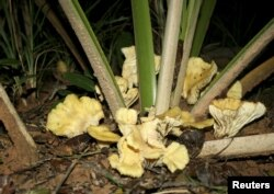 N. gardneri mushrooms are seen growing on the base of a young babassu palm in Gilbues, Brazil, in this undated handout picture.
